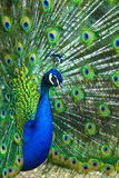 Peacock. peafowl.  Beautiful spread of a peacock. beautiful peac Stock Photo