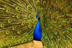 Peacock. peafowl.  Beautiful spread of a peacock. beautiful peac Royalty Free Stock Photos