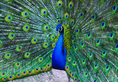 Peacock. peafowl. Beautiful spread of a peacock. beautiful peaco Royalty Free Stock Images