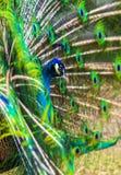 Peacock. peafowl.  Beautiful spread of a peacock. Stock Image