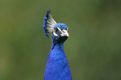 Peacock, peafowl genus pavo linnaeus Stock Images