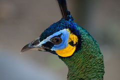 Peacock peafowl with his tail feathers Stock Photography