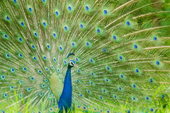 Peacock. The peafowl include two Asiatic bird species and one African species of birds in the genera Pavo and Afropavo of the Phasianidae family, the pheasants Stock Photos