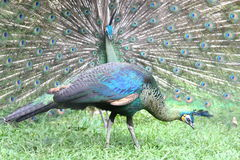 Peacock and Peahen Stock Images