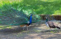 Peacock and peahen courting Royalty Free Stock Images