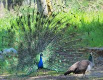 Peacock and peahen courting. Peacock courting ritual, peahen passing by stock images