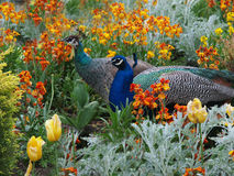 Peacock and Peahen courtship. Peacock and peahen courting in the colorful flowerbed Royalty Free Stock Photo