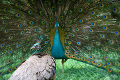 Peacock and peahen Royalty Free Stock Image