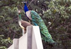 Peacock and Peahen. Peacock & Peahen together around my house. A beautiful view around my house in Jalandhar, Punjab Stock Photography