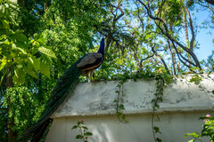A peacock perched on a wall in a garden in Seville, Spain, Europ Stock Image