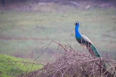 Peacock perching on a branch Stock Image