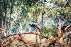 Peacock Perching on Tree Royalty Free Stock Photo