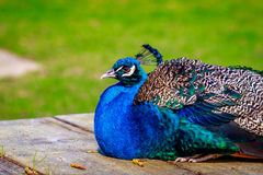 Peacock Perching on wood Royalty Free Stock Photography