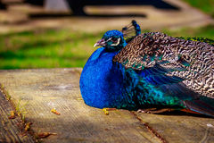 Peacock Perching on wood Stock Image