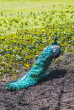 Peacock 1. Peacock photographed from behind, showing colorful tail royalty free stock images