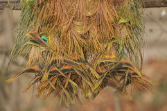 Peacock plumage Stock Image