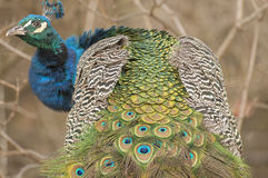 Peacock plumage Royalty Free Stock Photo