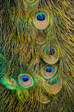 Peacock plumage Royalty Free Stock Images