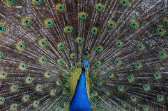 Peacock plumage Royalty Free Stock Image