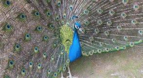 Peacock Plumage Royalty Free Stock Image
