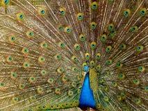 Peacock, Plumage, Bird, Peafowl Stock Photography
