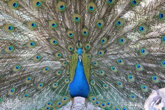 Peacock plumage. The colourful plumage of a peacock as he spreads his feathers Royalty Free Stock Images