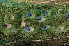 Peacock Plumage Royalty Free Stock Photography