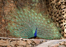 Peacock Plumage Display Stock Photos