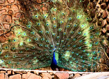 Peacock Plumage Display HD Effect. Peacock Spraying Its Beautifull Plumage on Display Royalty Free Stock Image