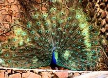 Peacock Plumage Display HD Effect Royalty Free Stock Image