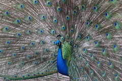 Peacock with plumage Stock Photos