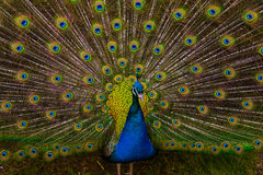 Peacock plumage Stock Images