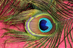 Peacock plume Royalty Free Stock Image