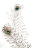 Peacock plume Royalty Free Stock Photo