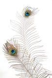 Peacock plume Royalty Free Stock Photo