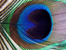 Peacock plume Royalty Free Stock Photos