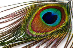 Peacock plume  close-up Stock Image
