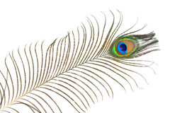 Peacock plume Stock Image