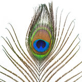 Peacock plume Stock Photo