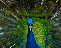 Peacock_portrait immagini stock
