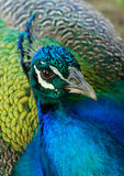 Peacock portrait Royalty Free Stock Images