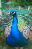 Peacock portrait. Portrait of a peacock looking in the camera Royalty Free Stock Photos