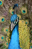 Peacock Portrait Stock Photography