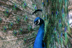 Peacock portrait Stock Image