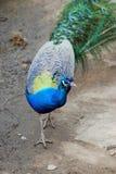 Peacock portrait. Stock Photo