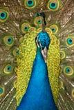 Peacock. Portrait of beautiful male peacock Stock Photo