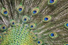 Peacock Royalty Free Stock Image