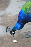Peacock portrait. The bird takes a piece of bread from the ground. Royalty Free Stock Photos