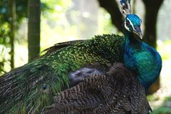 Peacock portrait with colorful iridescent feathers and tail. Beautiful blue and green peacock poses for a portrait in natural outdoor habitat in tropical royalty free stock image