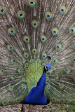 Peacock in portrait format Stock Images